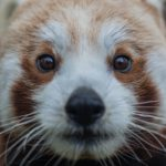 Red panda Nima at Chester Zoo